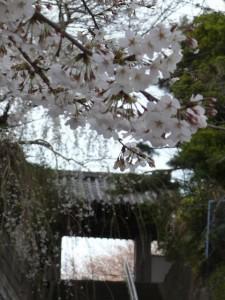 minamisakikaho-sakura-1