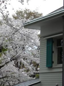 minamisakikaho-sakura-11