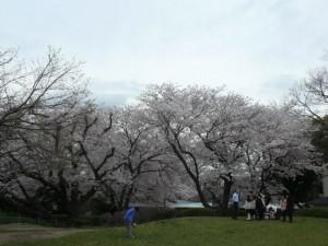 minamisakikaho-sakura-12