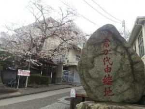 minamisakikaho-sakura-2