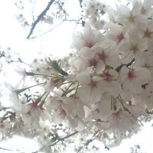 minamisakikaho-sakura-19